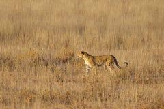 Léopard tenu dans l'herbe Photographie stock libre de droits