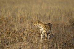 Léopard tenu dans l'herbe Photo libre de droits
