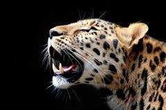 léopard TU prêt de chasse image stock