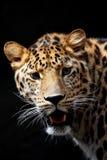 léopard TU prêt de chasse image libre de droits