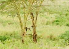 Léopard vers le haut d'un arbre Image stock