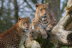 Léopards sri-lankais Beau animal de grand chat ou faune de safari Images stock