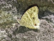 Lépidoptères d'Îles Maurice Photo stock