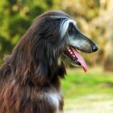 Lévrier afghan de chien Image stock