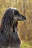 Lévrier afghan de chien dans le profil Images stock