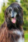 Lévrier afghan heureux de chien Photo stock