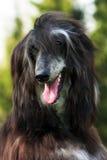 Lévrier afghan heureux de chien Image libre de droits