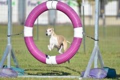 Lévrier au procès d'agilité de chien Photos libres de droits