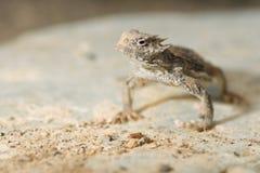 Lézard à cornes de désert Photos libres de droits