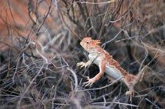 Lézard à cornes de désert méridional Image libre de droits
