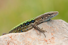 Lézard Image stock