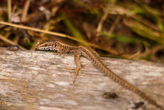 Lézard Photo stock