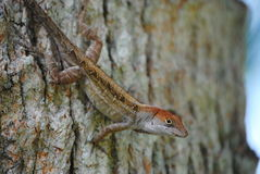 Lézard photo libre de droits