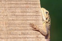 Lézard africain d'agame escaladant un mur vertical Photo libre de droits