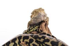 Lézard assez frais et python mignon de serpent dans des étreintes amicales sur un fond blanc Image libre de droits