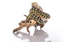Lézard assez frais et python mignon de serpent dans des étreintes amicales sur un fond blanc Photos stock