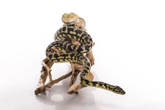 Lézard assez frais et python mignon de serpent dans des étreintes amicales sur un fond blanc Images libres de droits