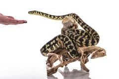 Lézard assez frais et python mignon de serpent dans des étreintes amicales sur un fond blanc Images stock