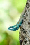 lézard Bleu-crêté descendant d'un arbre Image stock