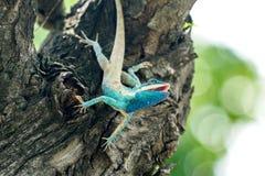 lézard Bleu-crêté ouvrant sa bouche pour l'insecte Photos libres de droits