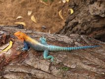 Lézard bleu et orange Photos libres de droits