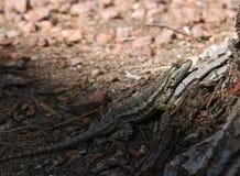 L?zard calme sur le soleil se reposant dans un arbre photographie stock libre de droits