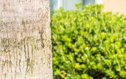 Lézard camouflé de Brown Anole sur l'arbre Images libres de droits