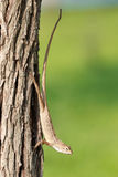 Lézard changeable malaisien (Calotes versicolor) Image libre de droits