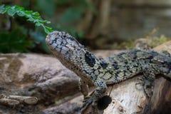 Lézard chinois de crocodile, crocodilurus de Shinisaurus photos stock