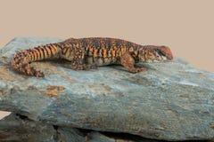 Lézard coupé la queue épineux saharien Uromastyx Geyri image stock