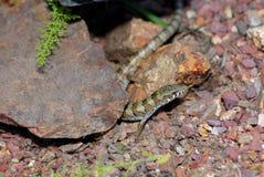 Lézard d'alligator de Madrean Image libre de droits