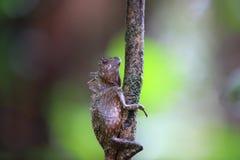Lézard d'anglehead du Bornéo ou dragon de forêt du Bornéo Image libre de droits
