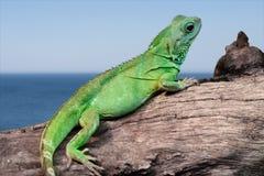 Lézard d'iguane par la mer Photographie stock libre de droits