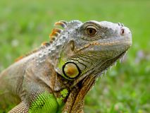 Lézard d'iguane - reptile Image libre de droits