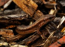 Lézard dans des déchets de bois Photo stock