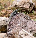 Lézard dans l'environnement naturel de la Turquie Photographie stock libre de droits