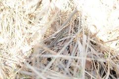 Lézard dans l'herbe de paille image libre de droits