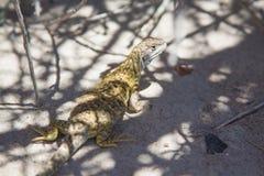 Lézard dans le désert patagonian images stock