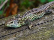Lézard de Brown sur le bois Photos stock