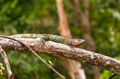 Lézard de caïman se dorant sur une branche de forêt tropicale Photos stock