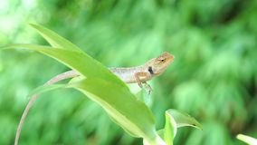 Lézard de caméléon déplaçant le grand oeil tout en regardant autour et se déplaçant lentement sur la branche d'arbre clips vidéos