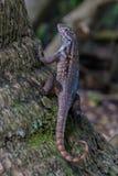Lézard de Curlytail dans un arbre Photo libre de droits