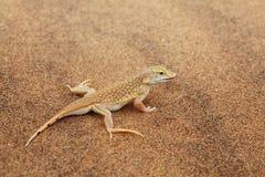 Lézard de désert Image libre de droits