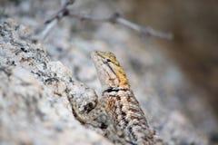 Lézard de désert de l'Arizona photographie stock libre de droits