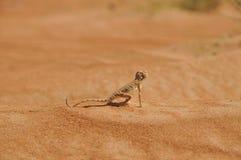 Lézard de désert regardant vers l'avenir images libres de droits