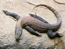 Lézard de dragon Photographie stock libre de droits
