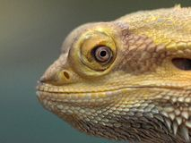 Lézard de dragon barbu de sourire. image libre de droits