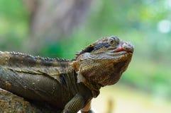 Lézard de dragon oriental de l'eau Images libres de droits