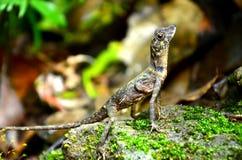 Lézard de forêt d'Andaman Image stock