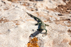 Lézard de Formentera Photos stock